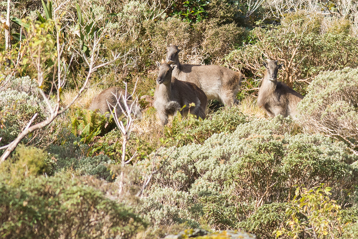 Four tahr gather together in mixed trees and bushes