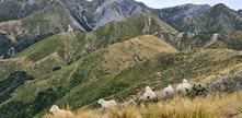 Sheep in a high country landscape