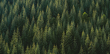 image of pine trees