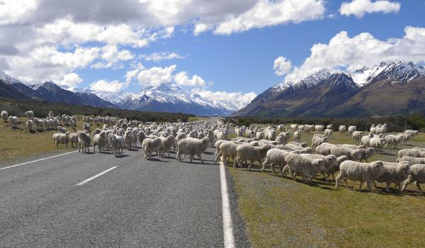 Sheep on a rural New Zealand road